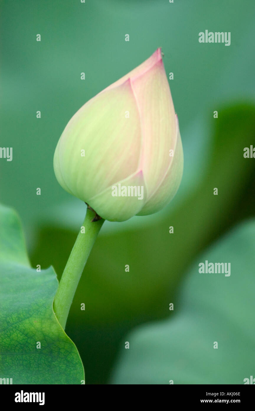Chinese pavilion lotus pond park stock photos chinese pavilion lotus flower bud grows in a pond in the river viewing pavilion park sichuan province chengdu izmirmasajfo