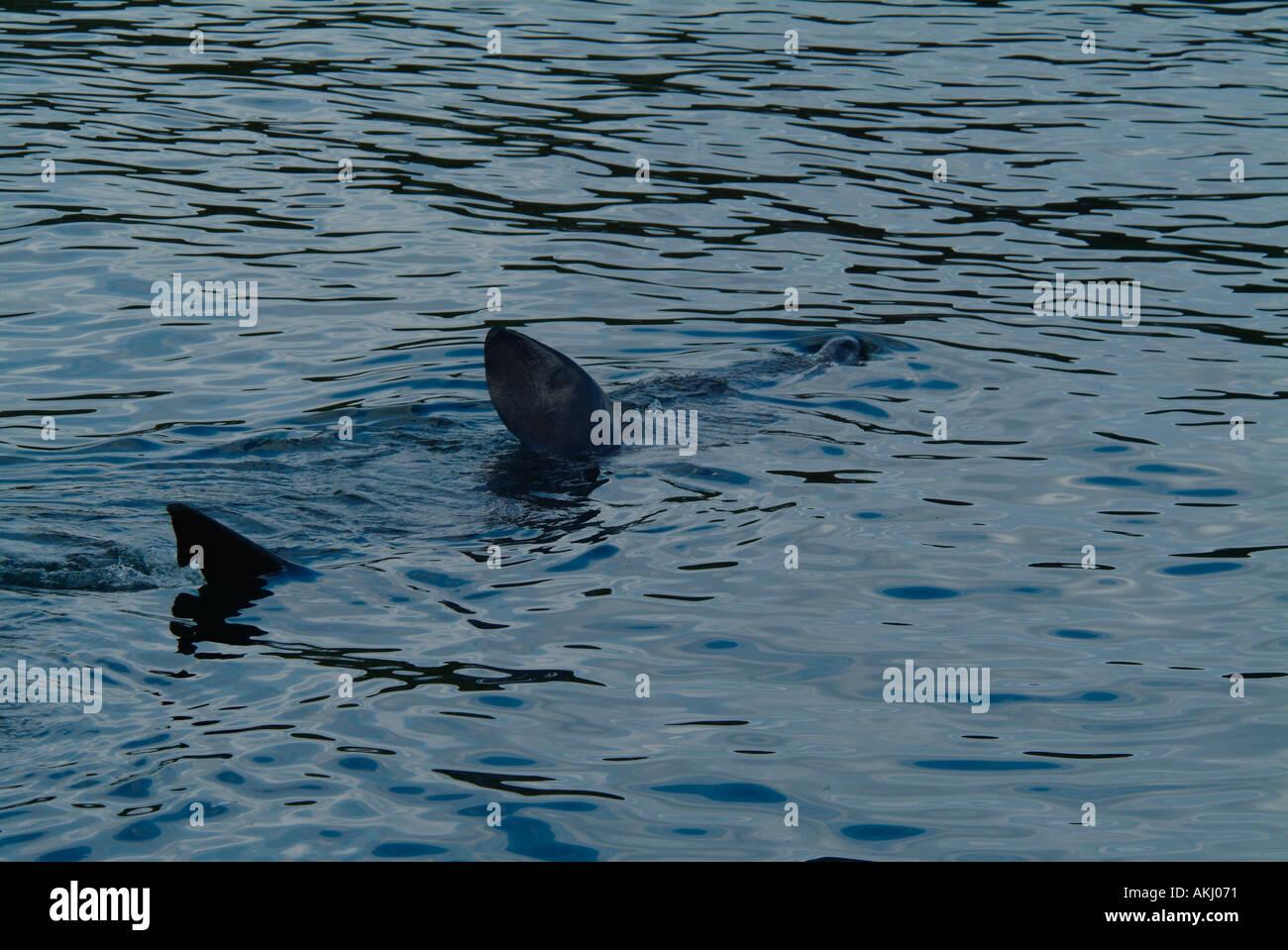UK Scotland Sea of Hebrides Basking Shark off Island of Eigg - Stock Image