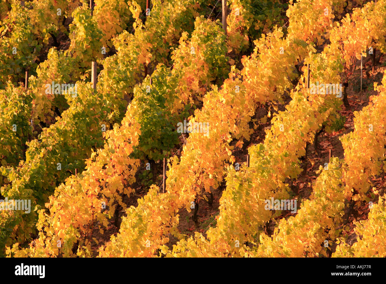 golden vineyard in autumn Höhnstedt Germany Stock Photo
