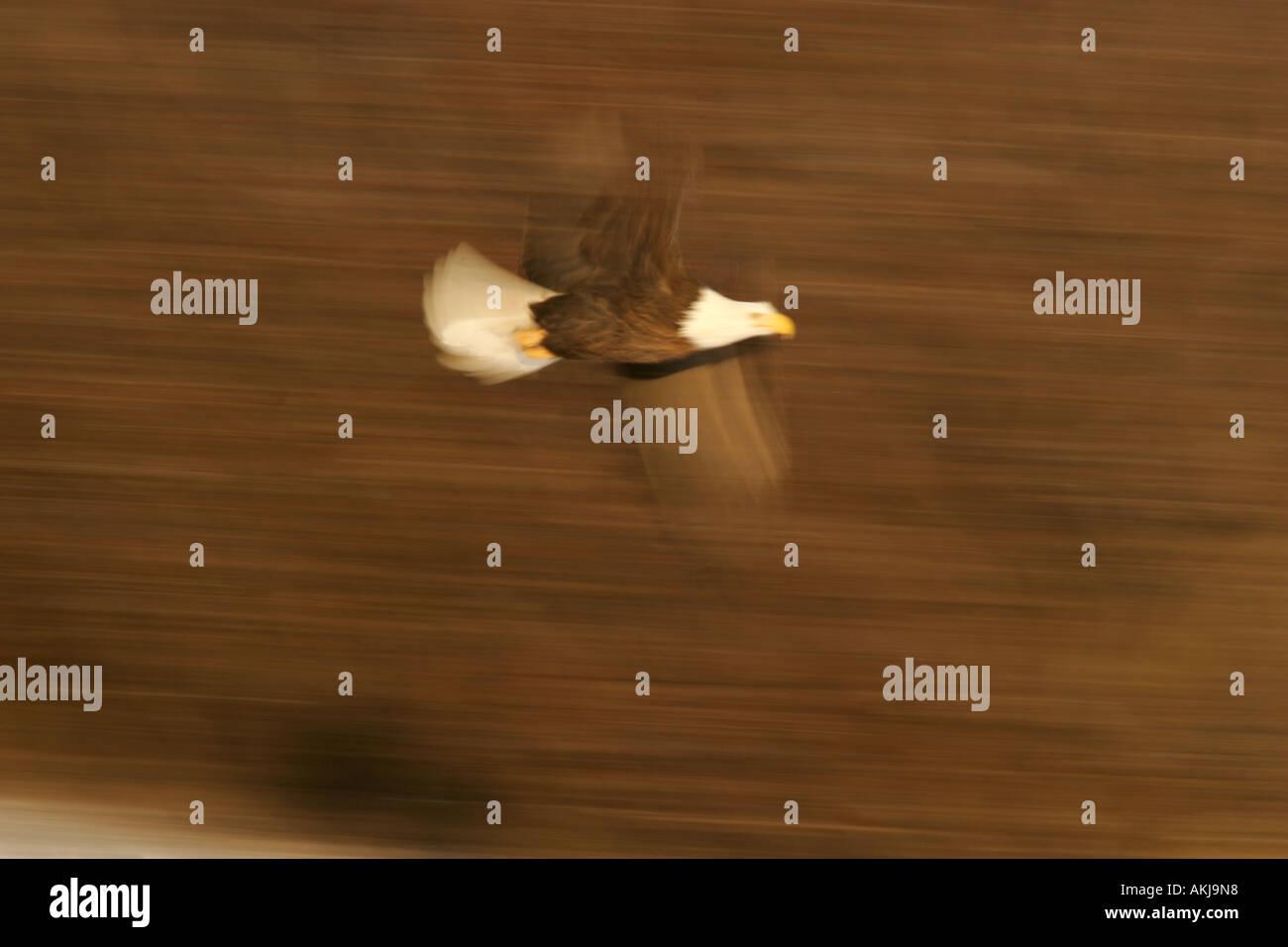 bald eagle flying - Stock Image