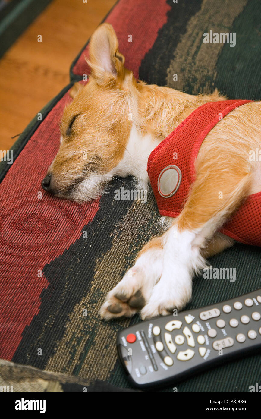 Dog sleeping next to remote control - Stock Image