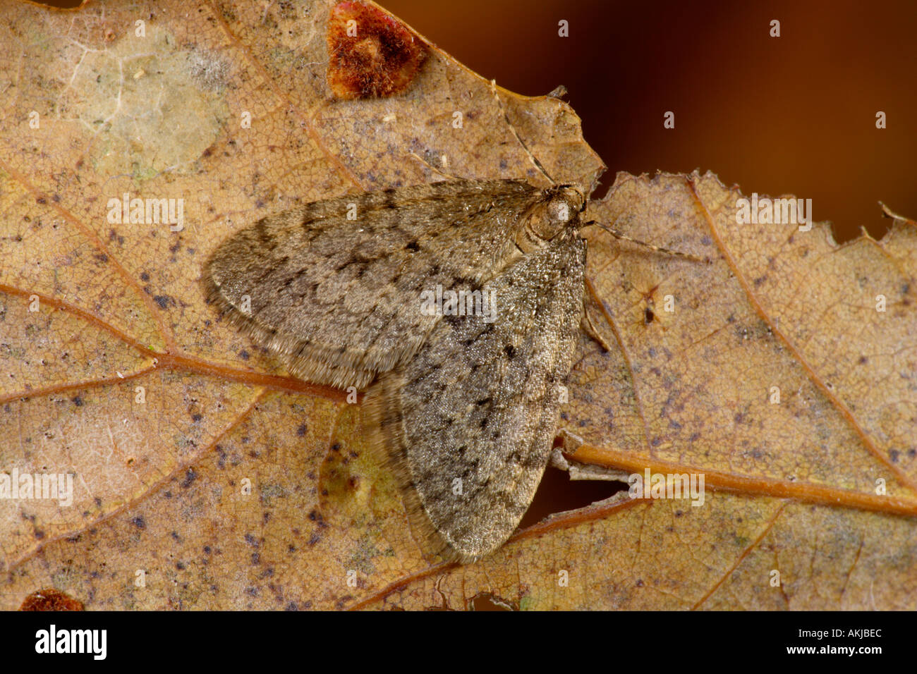 Winter Moth (Operophtera brumata) at rest on autumnal leaf potton bedfordshire - Stock Image