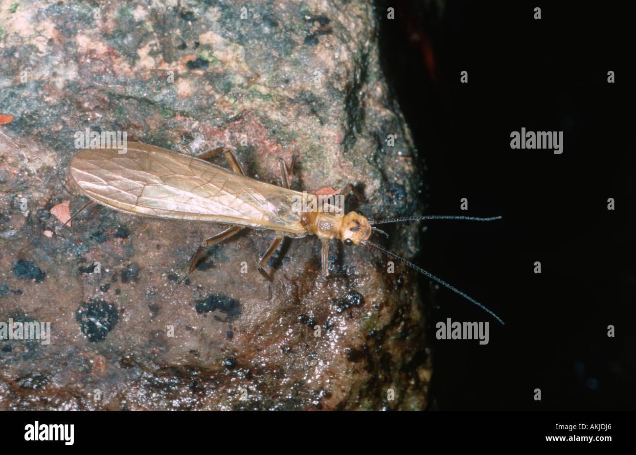 Stonefly, Perla sp. - Stock Image