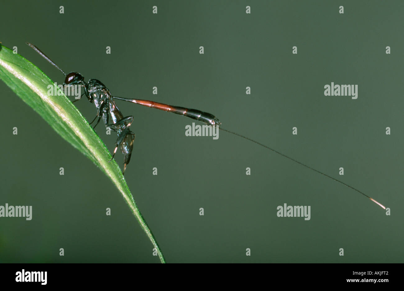 Hymenopteran, Gasteruption jaculator. Female showing long ovipositor - Stock Image