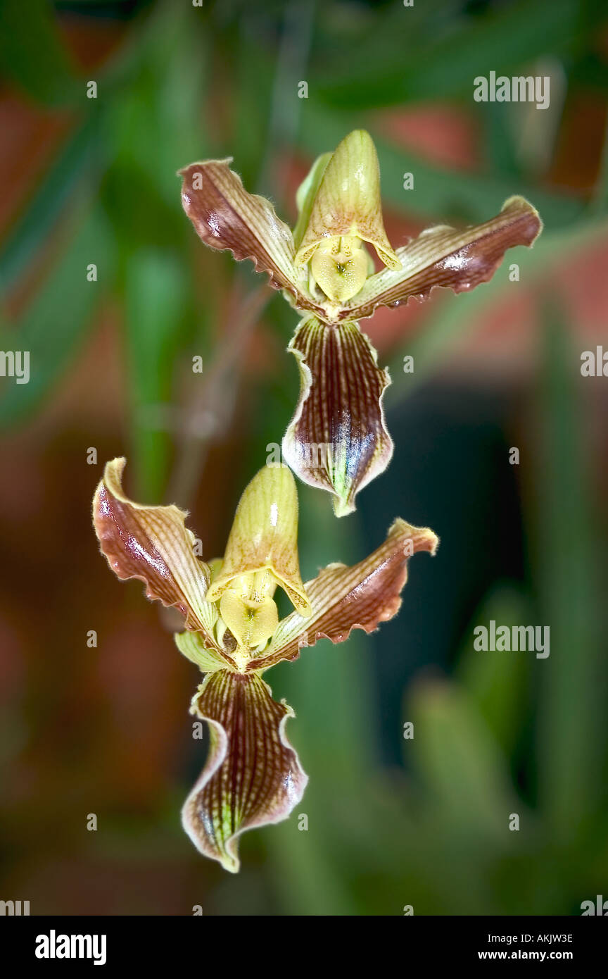 HKP72025 Dendrobium Orchid Lady Sleeper at TP Arunachal Pradesh India - Stock Image