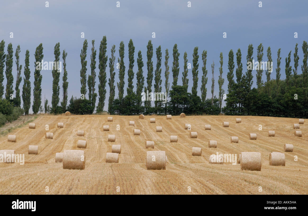 Rolled bales of straw lie awaiting collection in the field of stubble where the crop was harvested - Stock Image