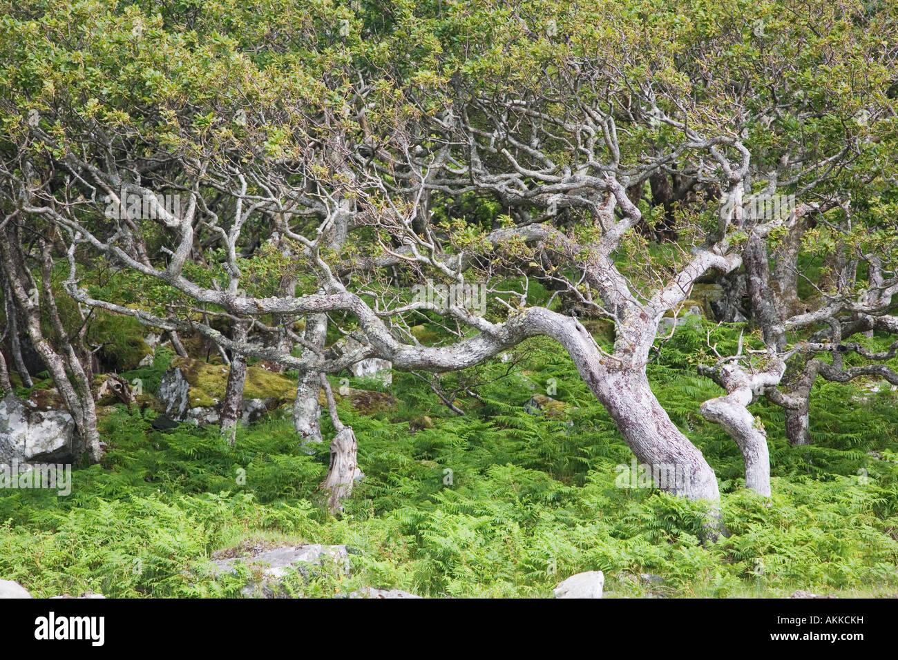 Ancient oak woodland Scarisdale Wood Isle of Mull Scotland - Stock Image