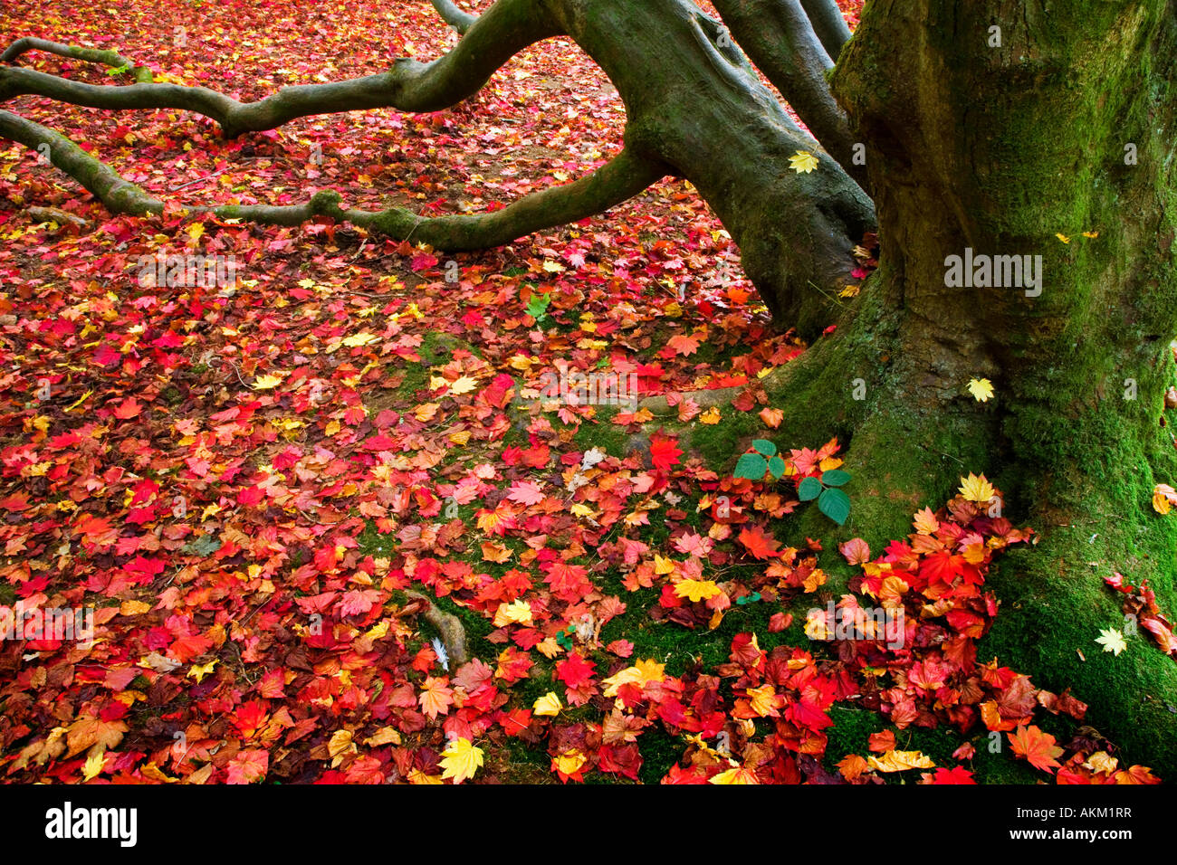 Fallen red acer autumn leaves at the foot of a tree trunk in Westonbirt Arboretum, Tetbury, Gloucestershire, England, Stock Photo