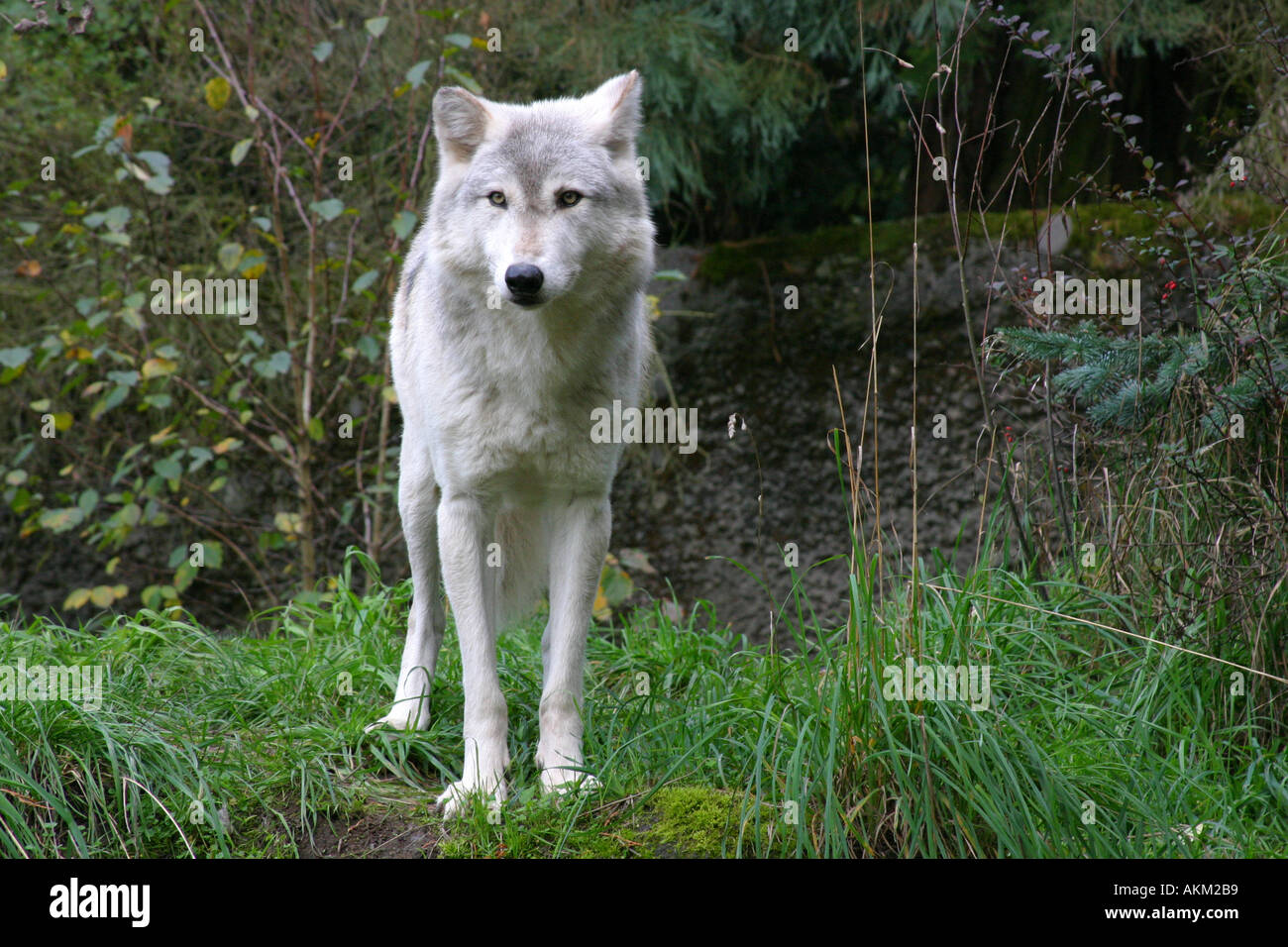 white wolf in the portland zoo usa stock photo 2785976 alamy