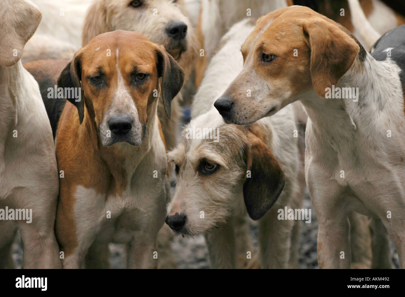 Hounds of the Llangeinor Hunt at their annual Boxing Day meet outside the Fox and Hounds pub at Blackmill near Bridgend - Stock Image