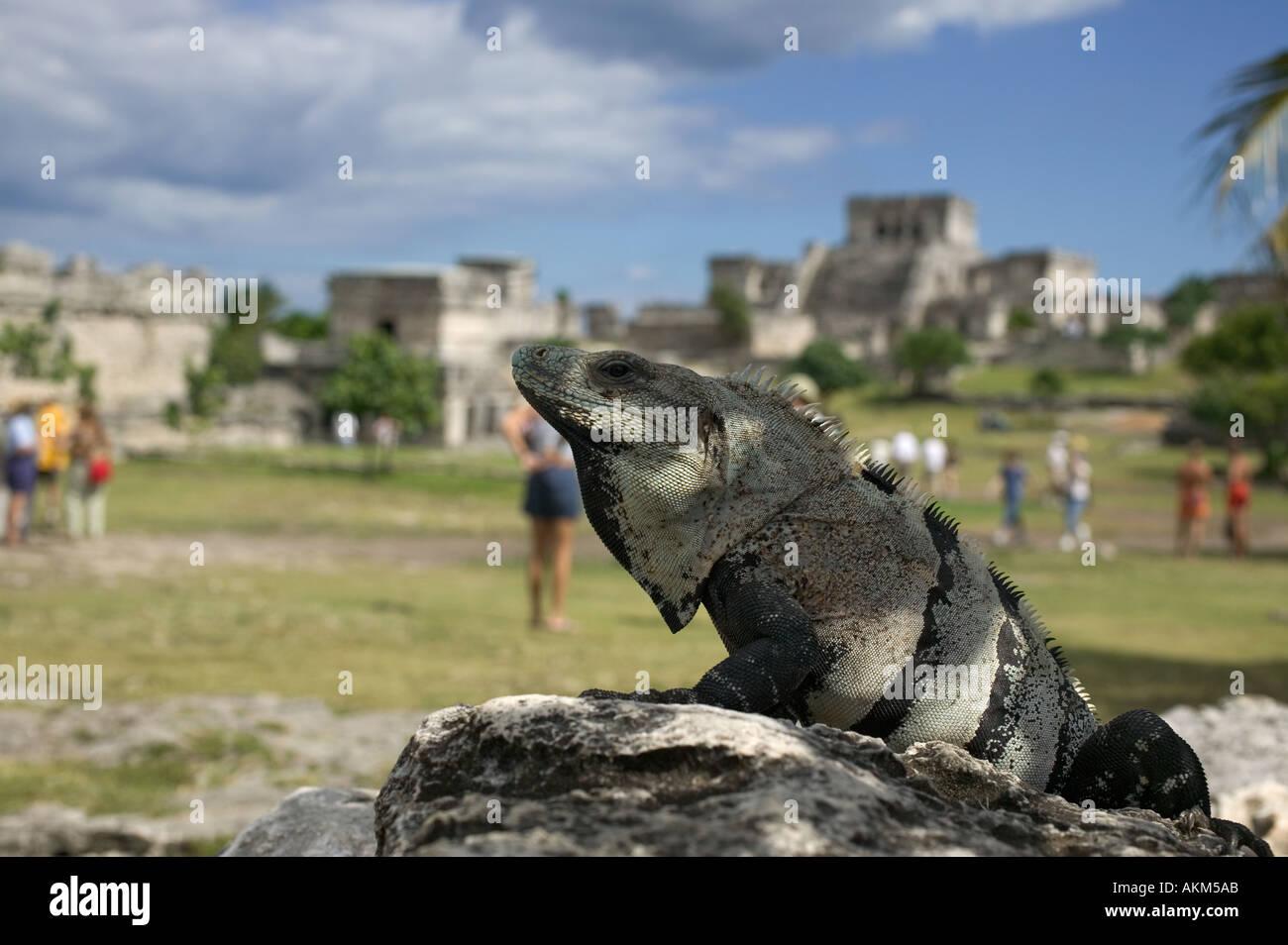 Iguana at Mayan ruins Tulum Mexico - Stock Image
