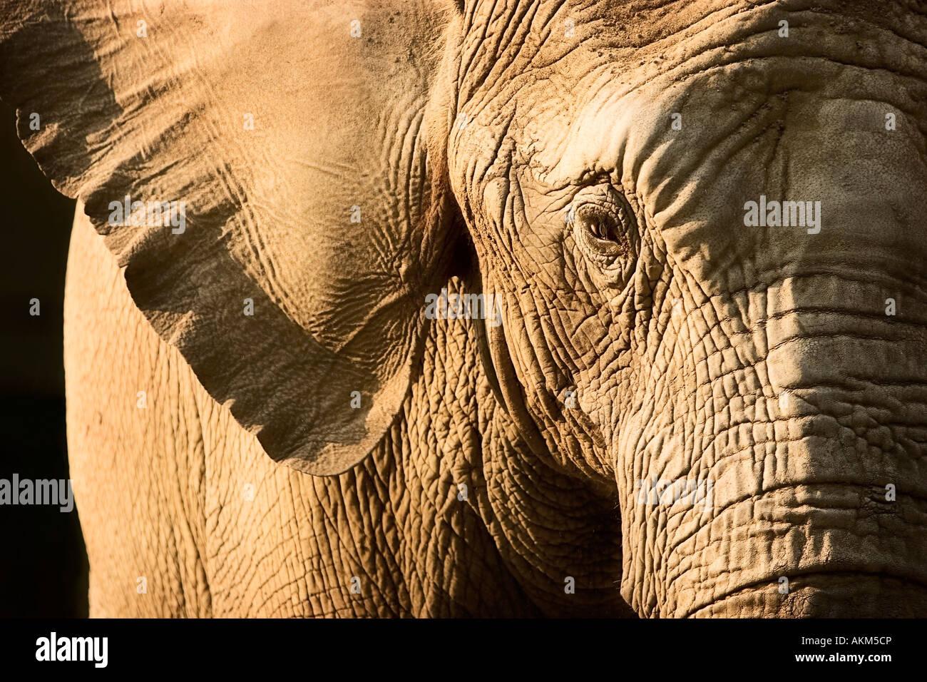 Elephant - Stock Image