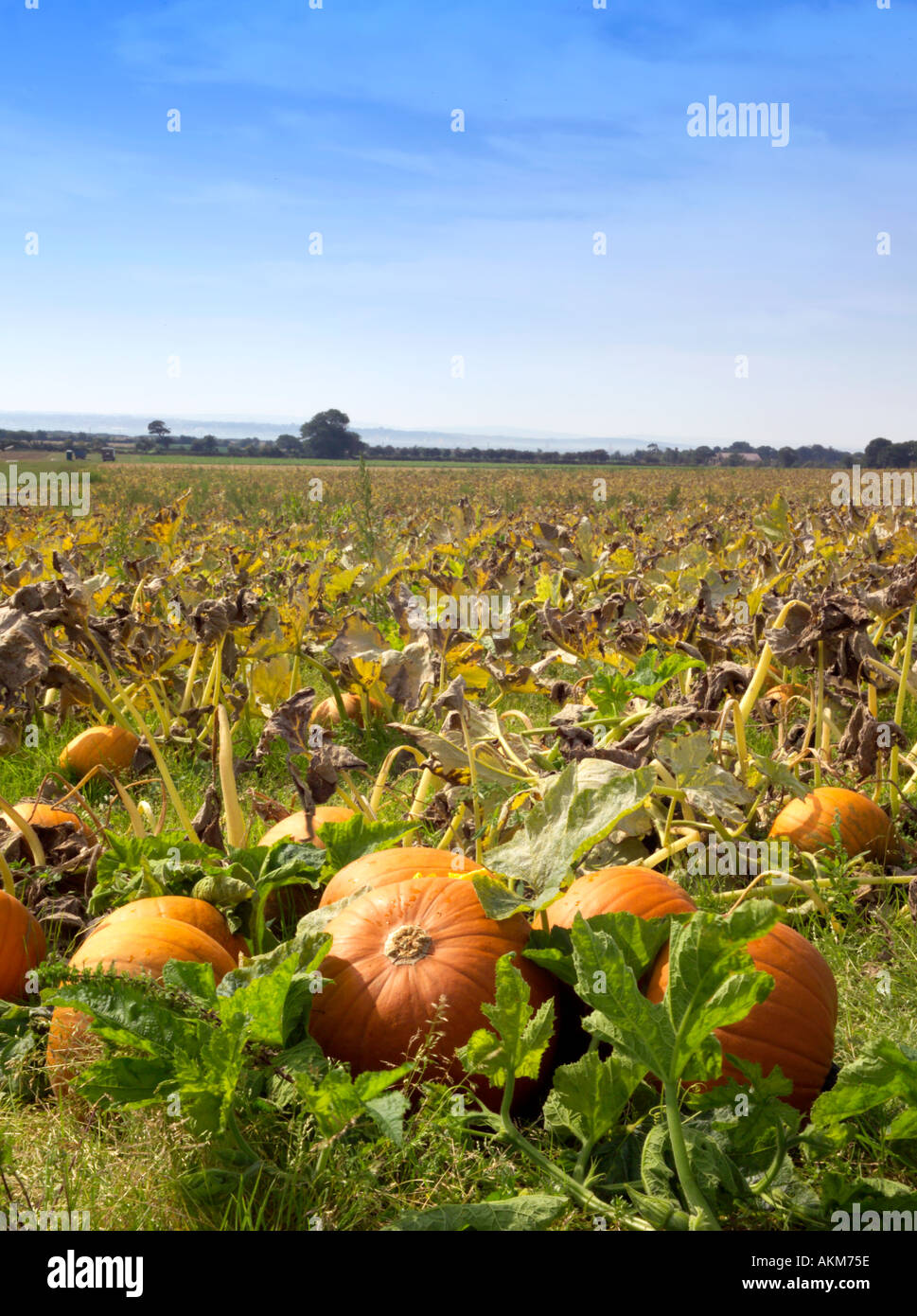 PUMPKINS GROWING IN FIELD IN THE SUNSHINE - Stock Image