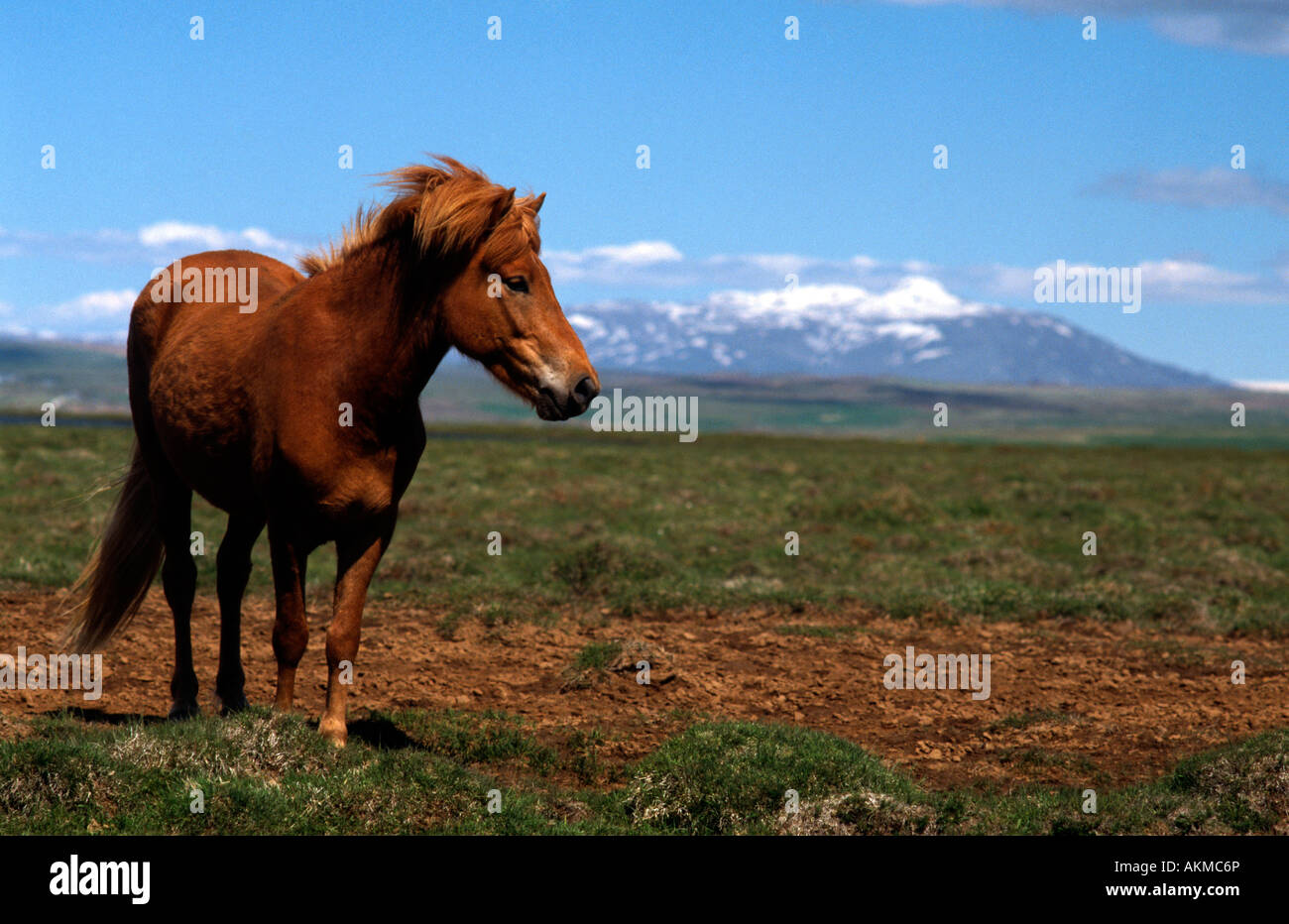 PICTURE CREDIT DOUG BLANE Horse in Iceland - Stock Image