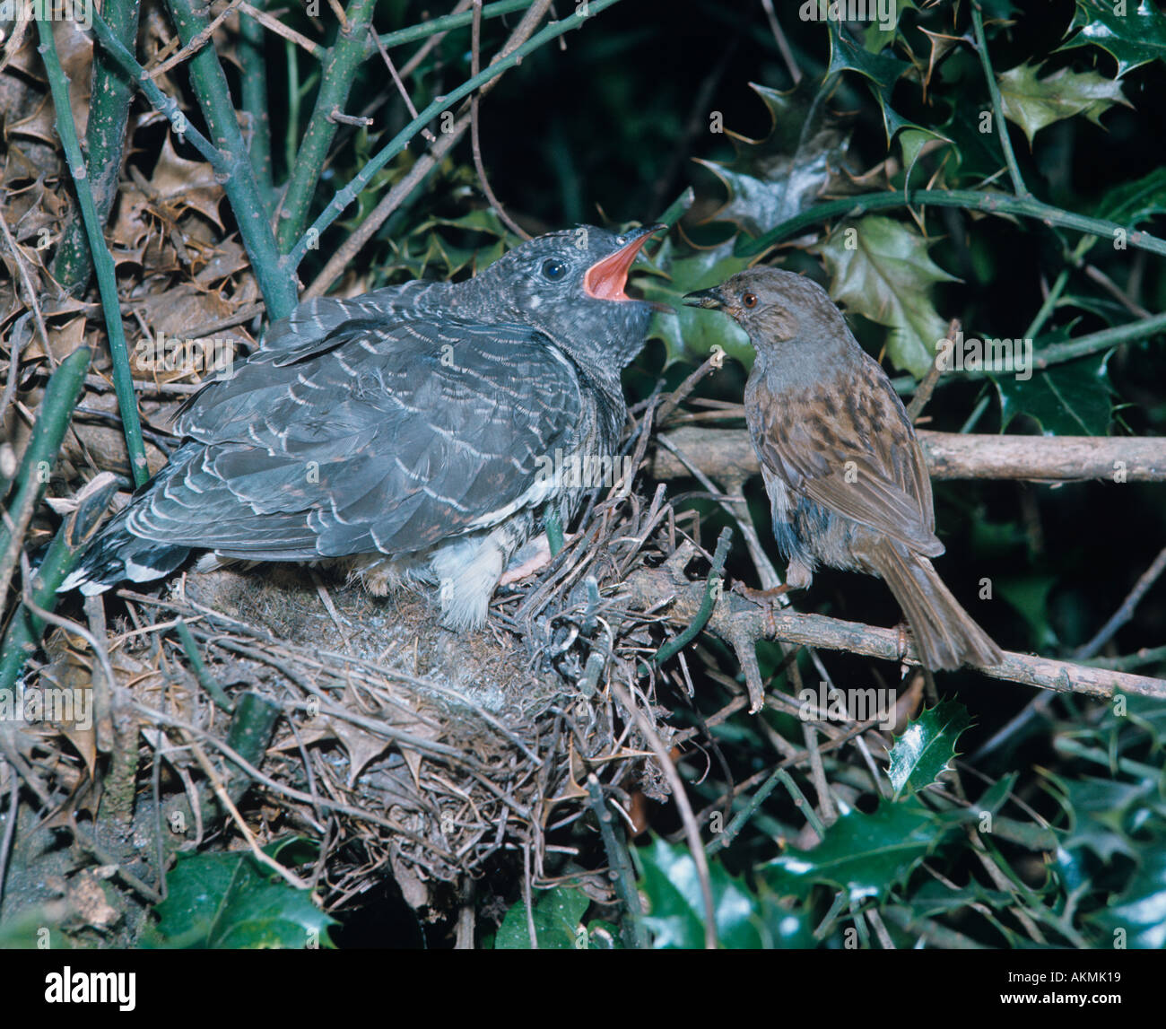 Dunnock Prunella modularis Feeding Cuckoo in Nest - Stock Image