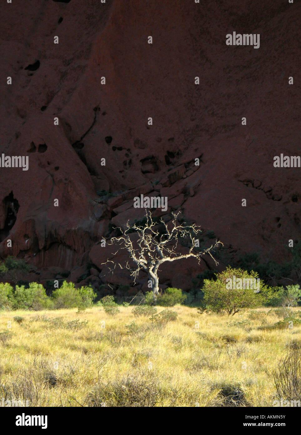 lone tree in front of uluru - Stock Image