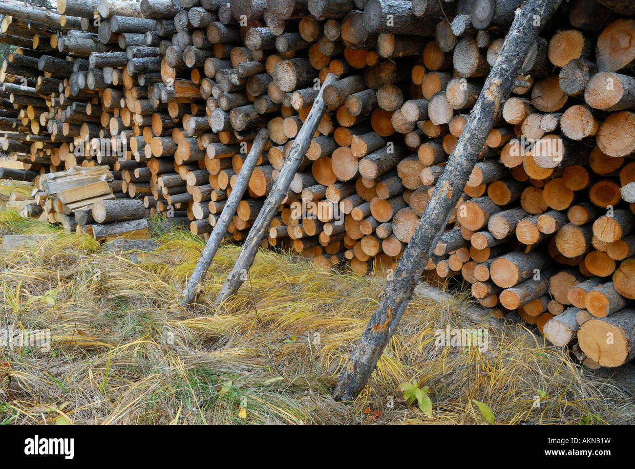 Stack of cut softwood poles ready to be split for firewood - Stock Image