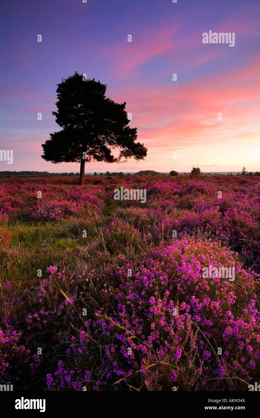 Bell heather in full bloom on the New Forest heathland, New Forest National Park, Hampshire - Stock Image