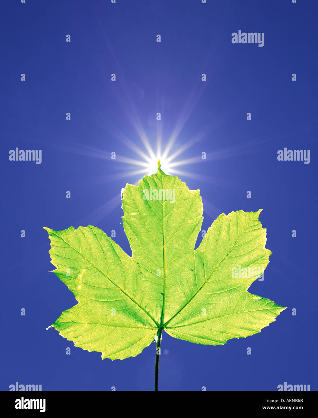 sun shining behind a maple leaf in extreme back lighting in blue sky Germany Europe - Stock Image