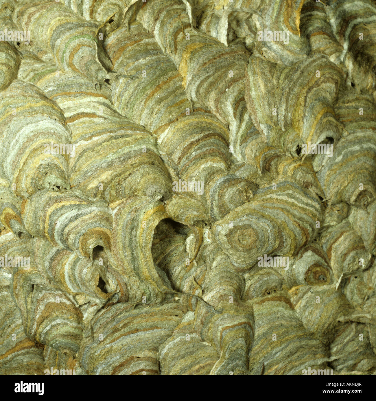 Common wasp Vespula vulgaris nest construction with vent holes paper like wall - Stock Image