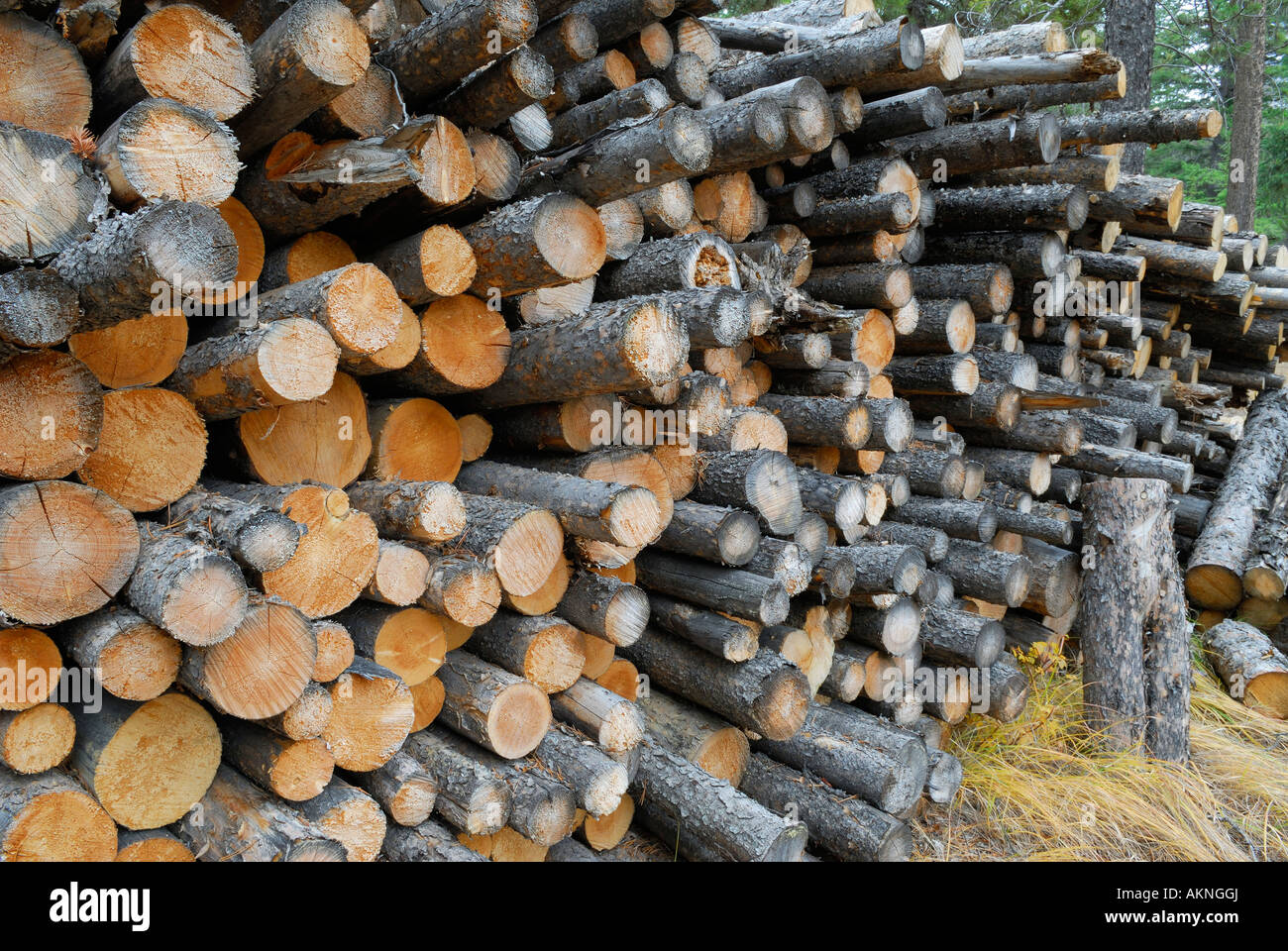 softwood logs stacked outside ready to be cut for firewood - Stock Image
