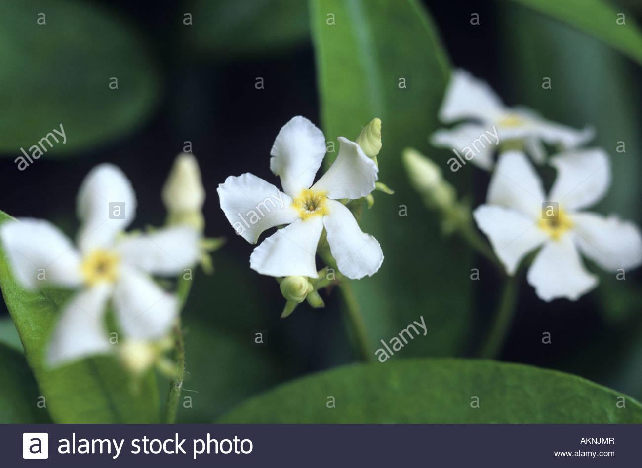 Trachelospermum jasminoides star jasmine small scented white flowers trachelospermum jasminoides star jasmine small scented white flowers with evergreen foliage izmirmasajfo