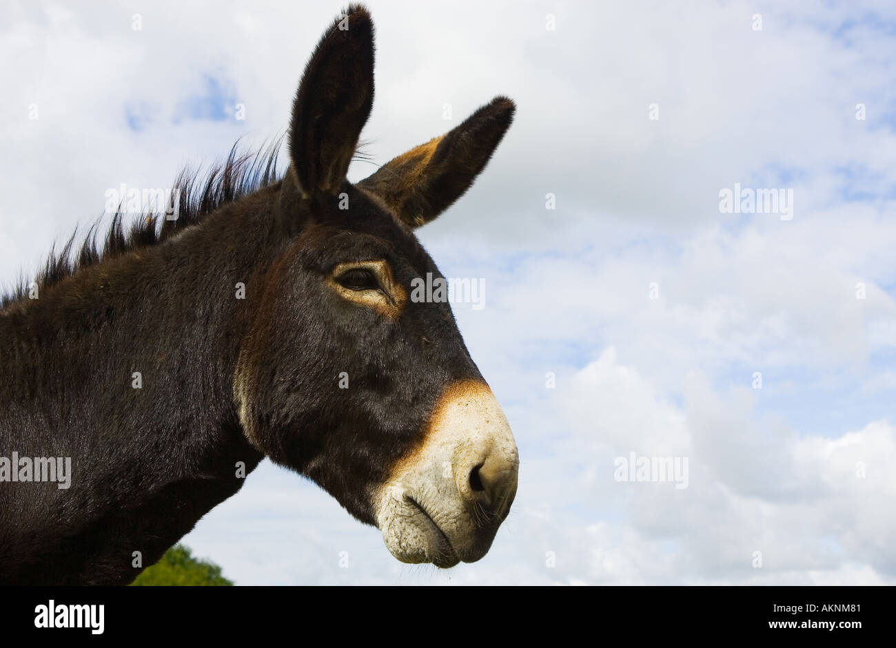 Donkey Normandy France - Stock Image