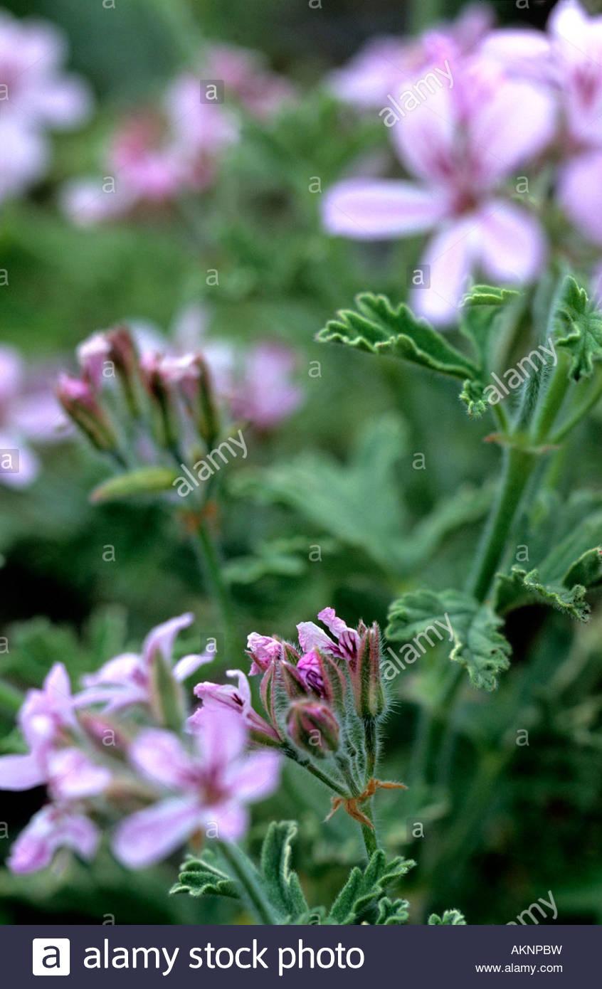 Pelargonium grey lady plymouth scented geranium mauve to pink flower pelargonium grey lady plymouth scented geranium mauve to pink flower with grey silver green foliage herb nursery rutland mightylinksfo