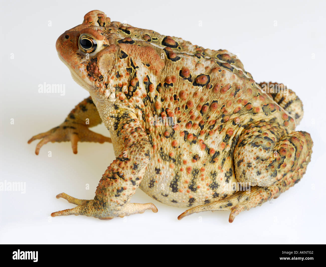 Left side view of fat American Toad  Bufo americanus on white background - Stock Image