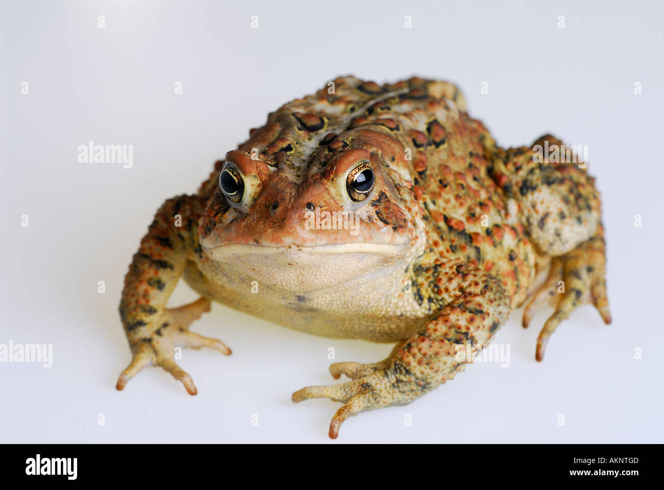Fat American Toad Bufo americanus staring back on white background - Stock Image