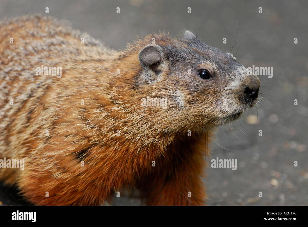 Close up of a curious Groundhog Marmota monax gopher - Stock Image