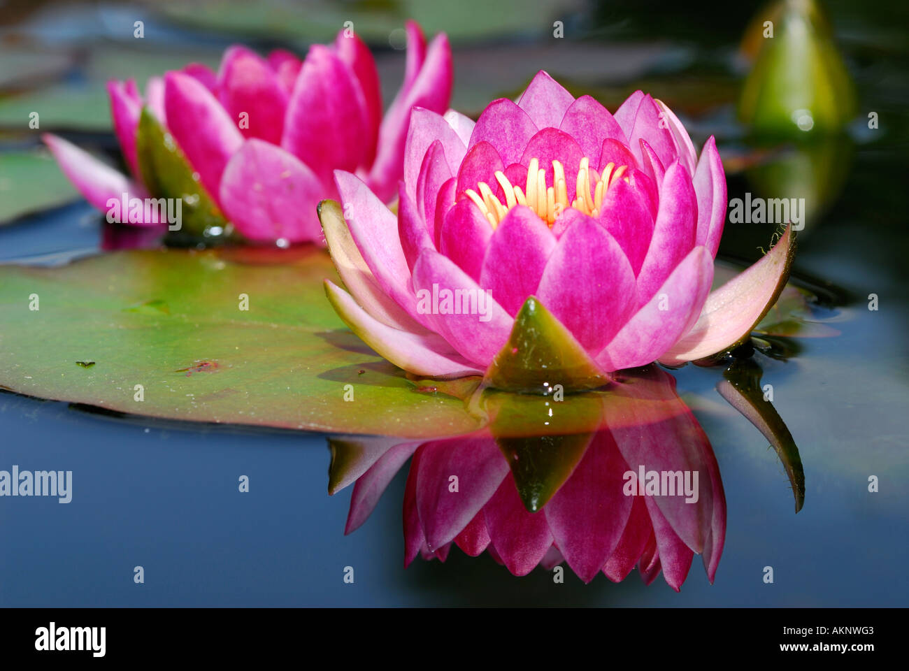 Nymphaeaceae Waterlily Flowers Lily Pads And Bud With Reflection In