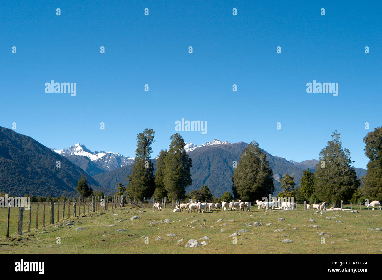 Sheep farm near Fox Glacier, South Island, New Zealand - Stock Image