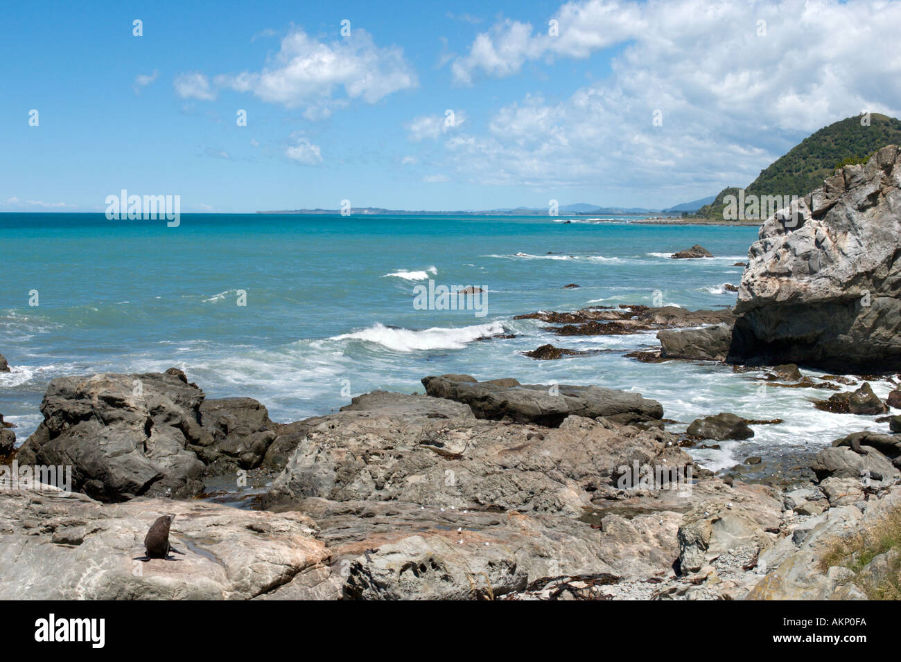Seal Colony at Ohau Point on the coast off Highway SH1, north of Kaikoura, South Island, New Zealand - Stock Image
