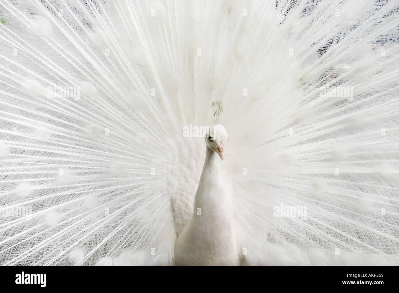 peacock 2 - Stock Image