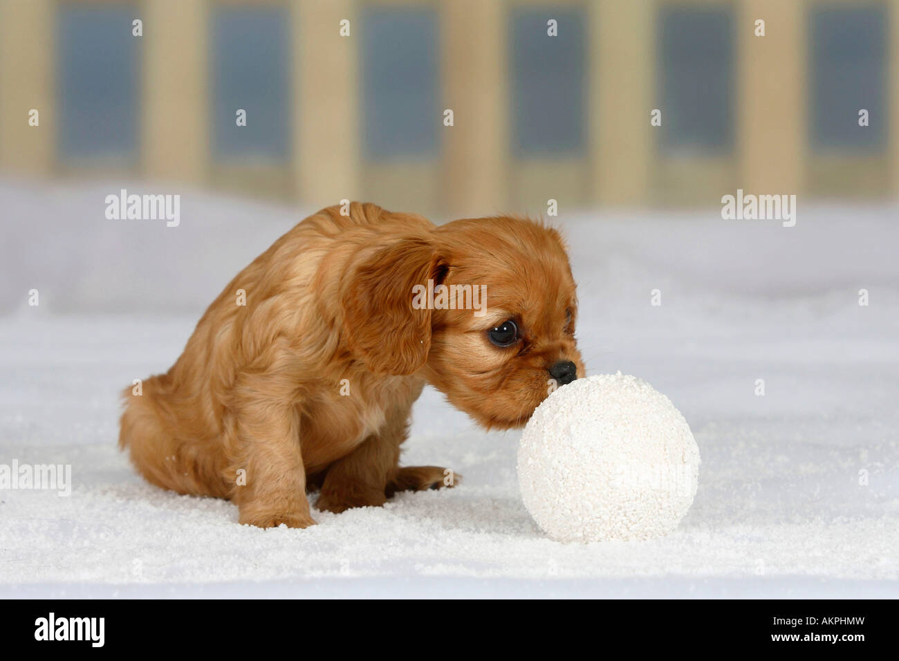 cavalier king charles spaniel puppy ruby 6 weeks sniffing on