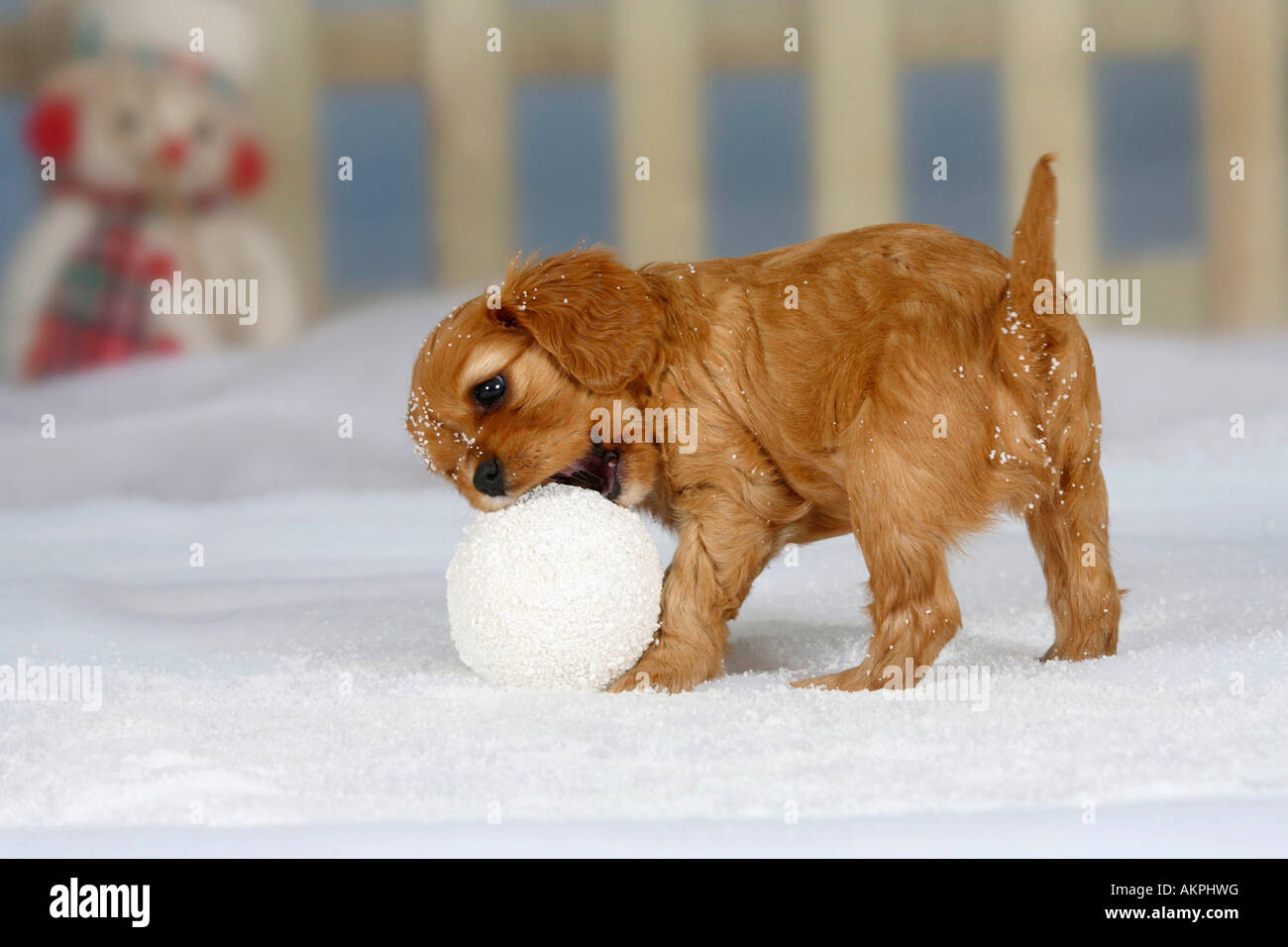 cavalier king charles spaniel puppy ruby 6 weeks gnawing at snowball
