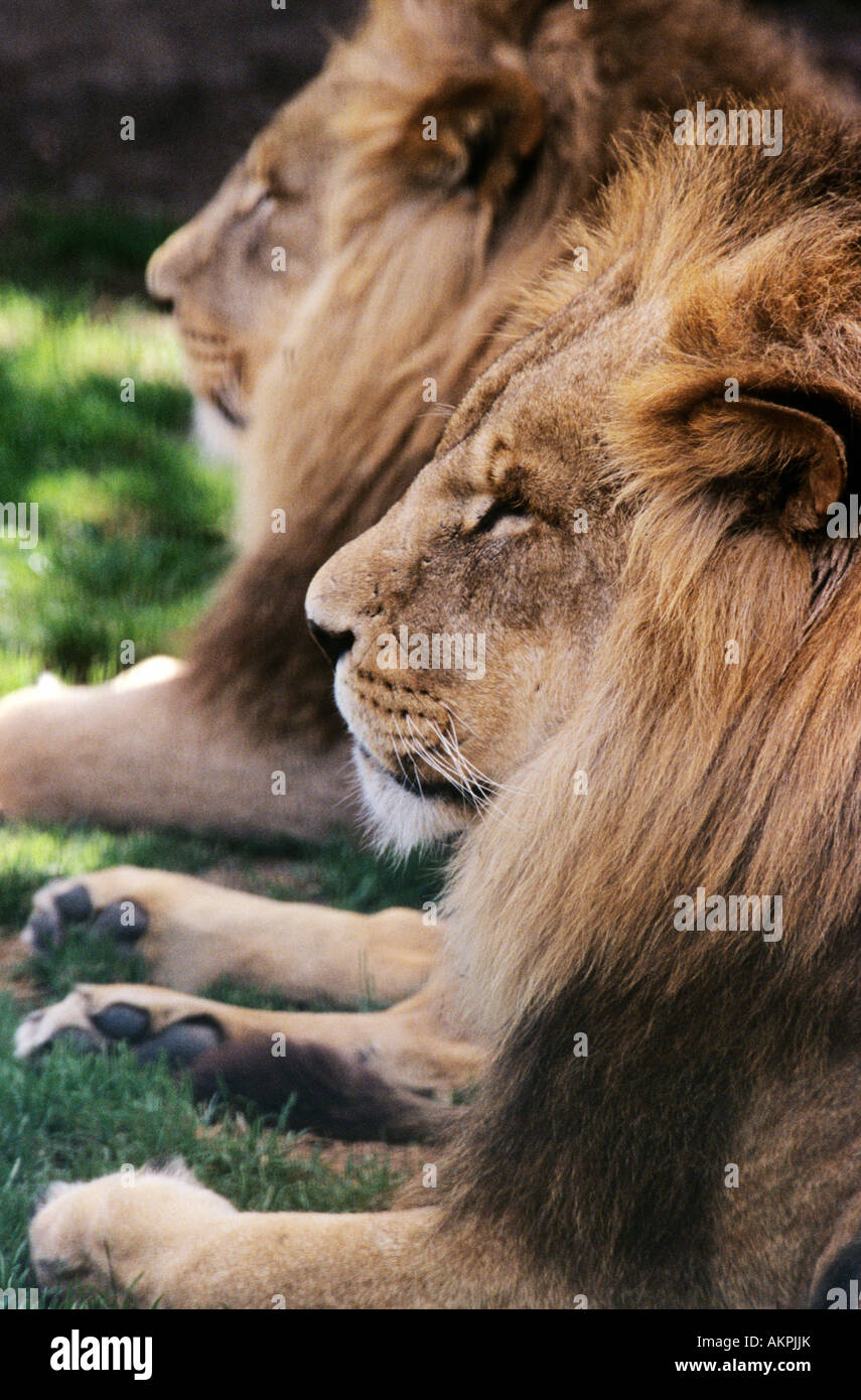 Lions - Stock Image