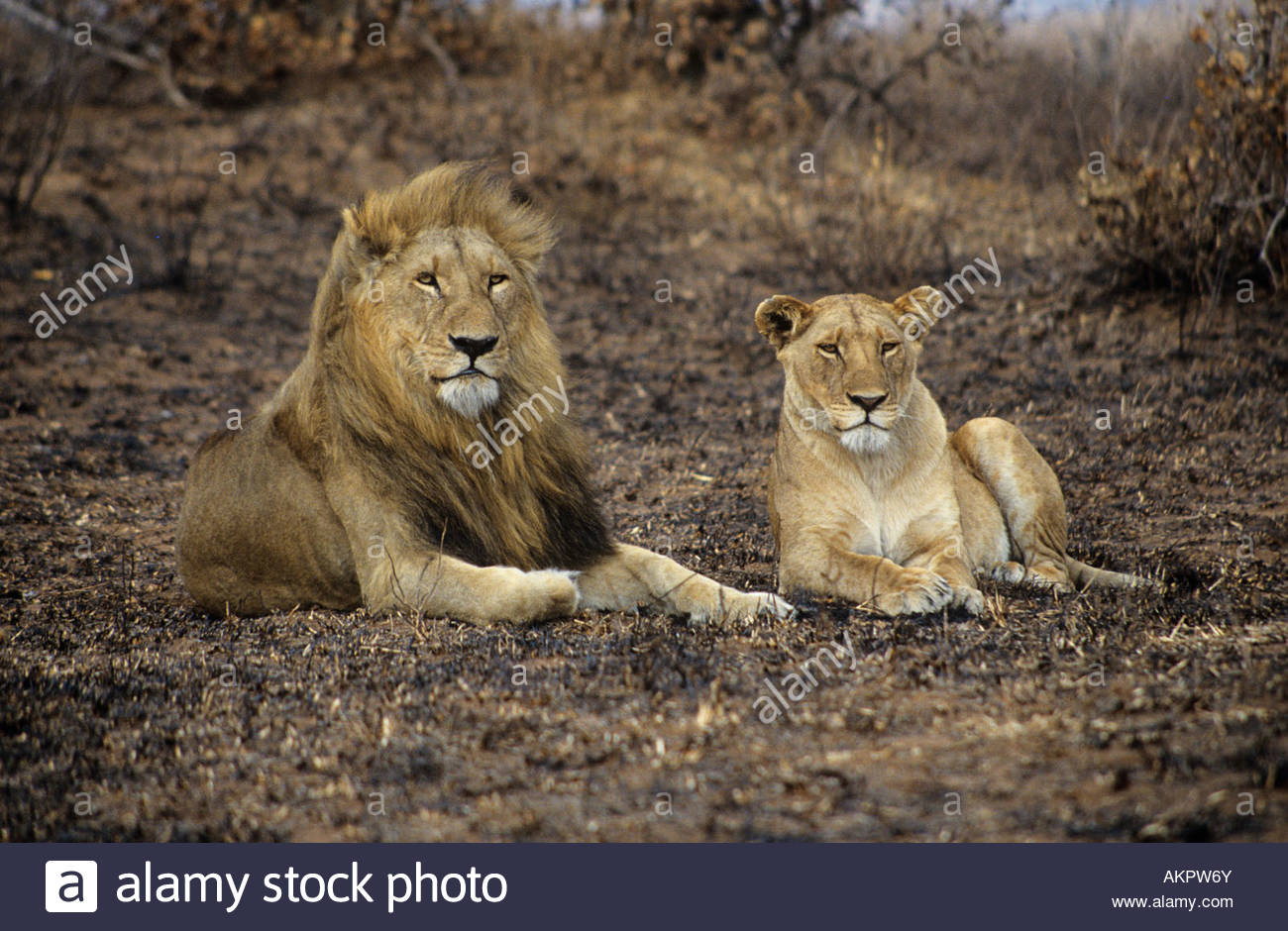 Lion and lioness - Stock Image
