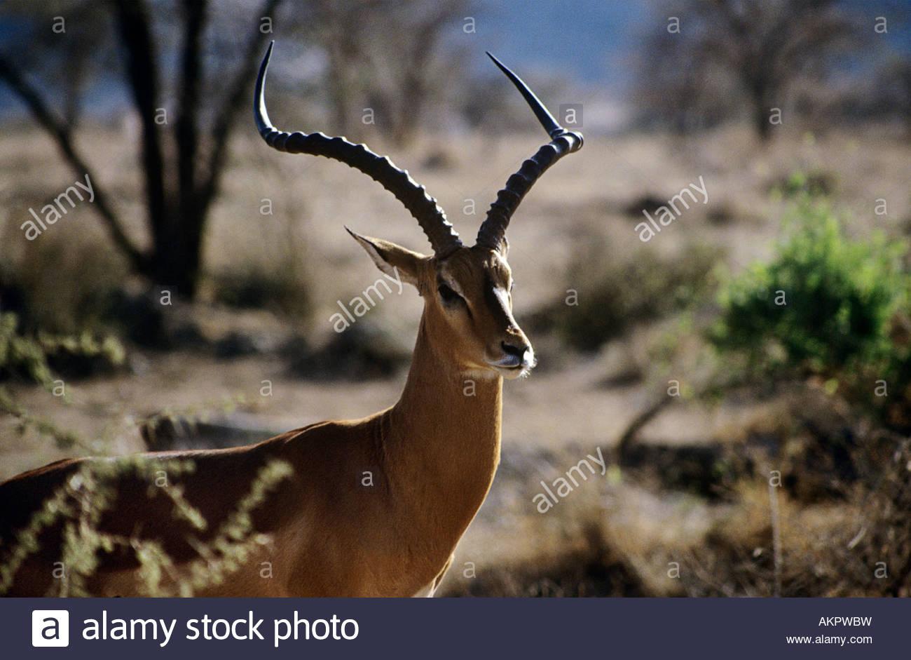 Impala - Stock Image