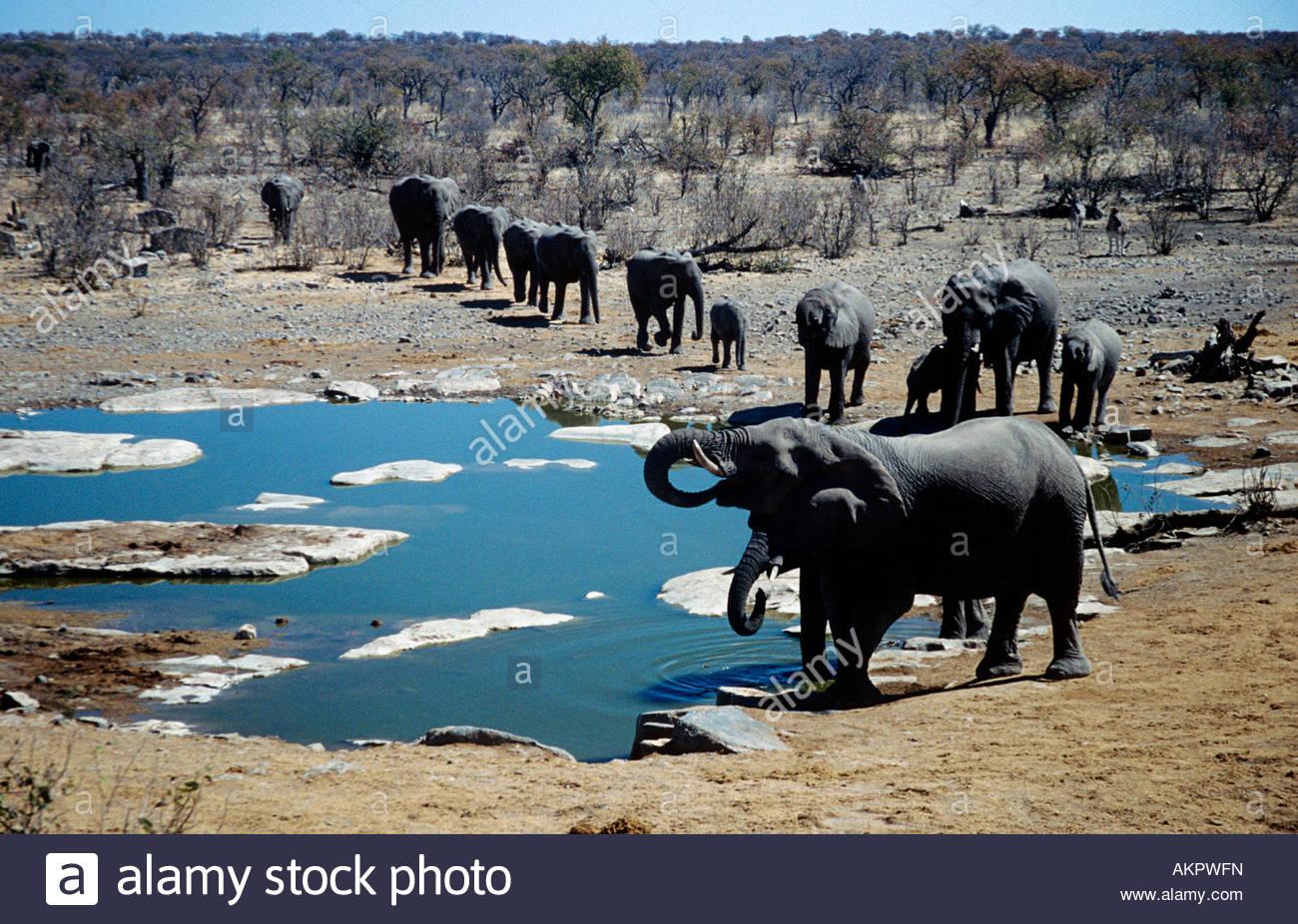 Elephants at water hole - Stock Image
