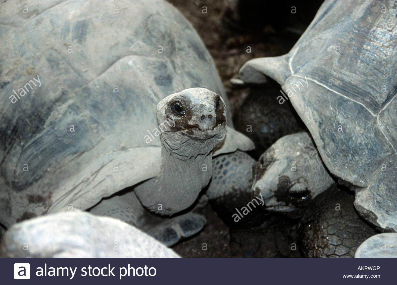 Giant tortoises - Stock Image