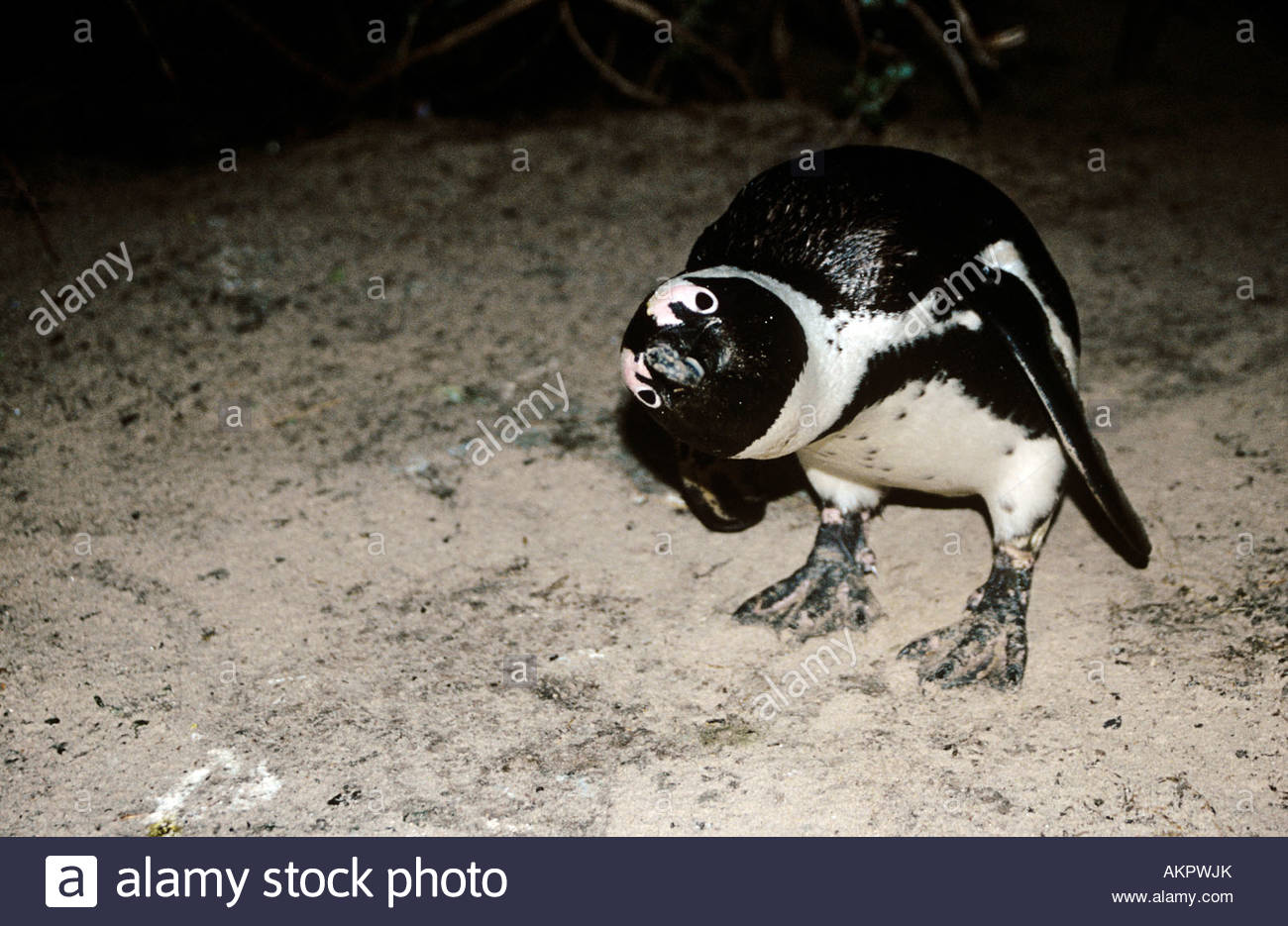 African penguin - Stock Image