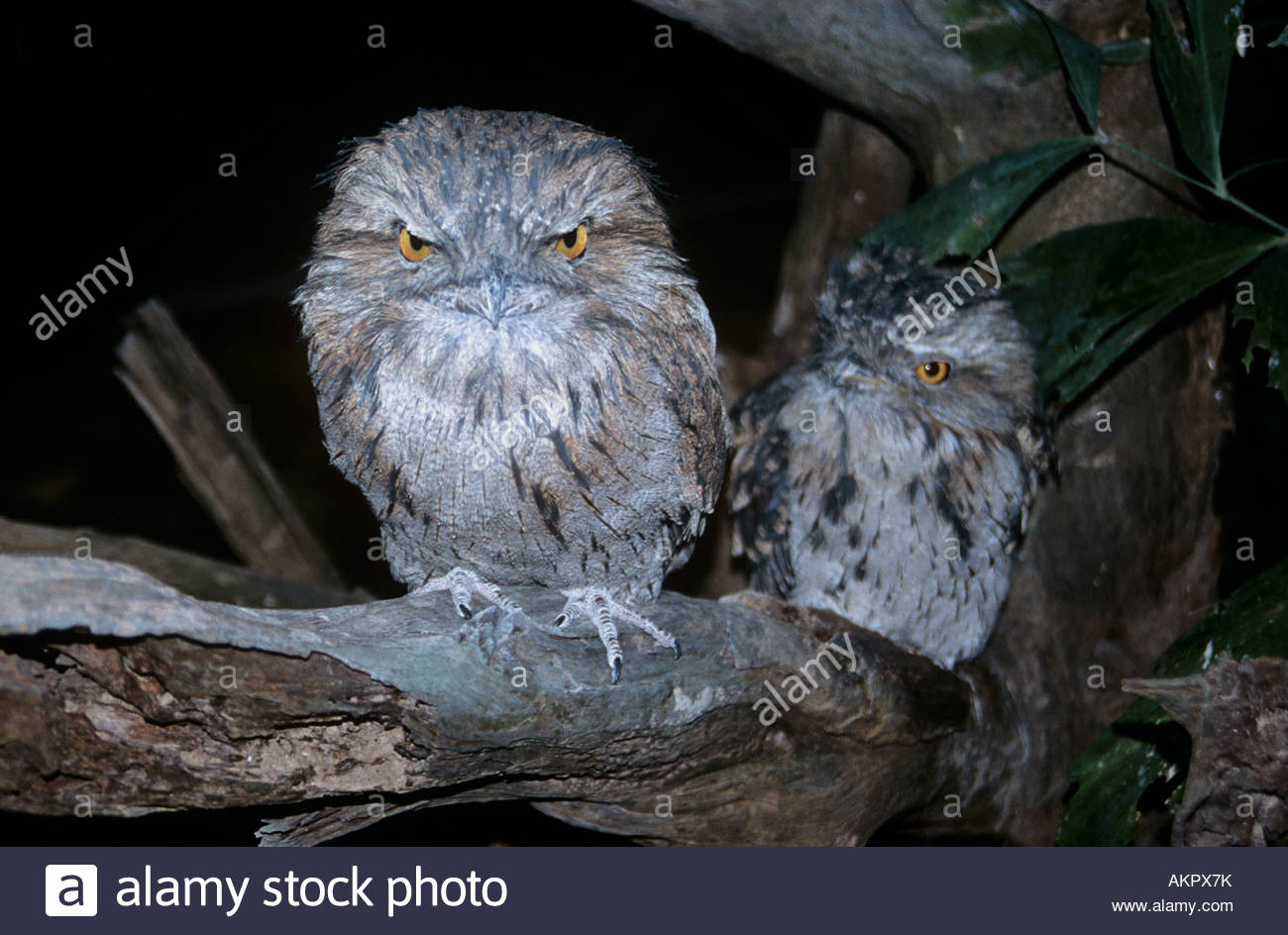 Two owls - Stock Image