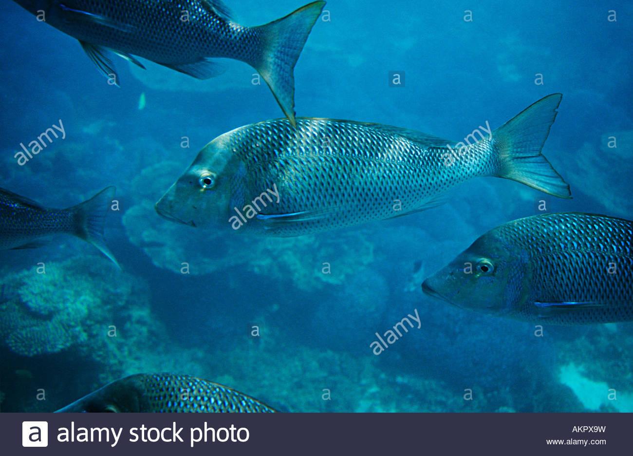 Spangled emperor fish - Stock Image