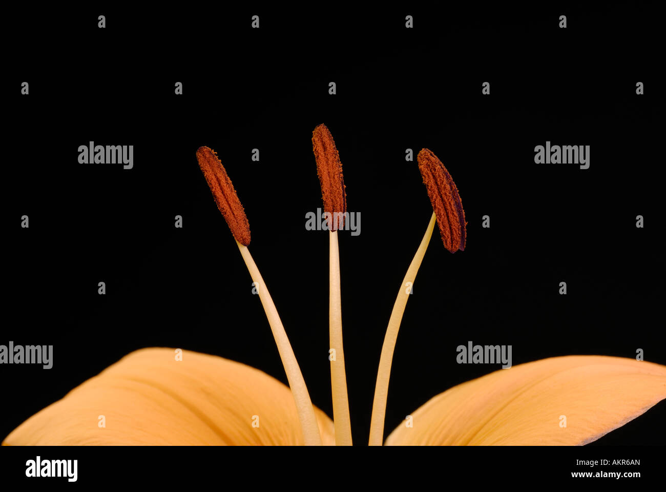 Close-up of stamens with ripe anthers - Stock Image