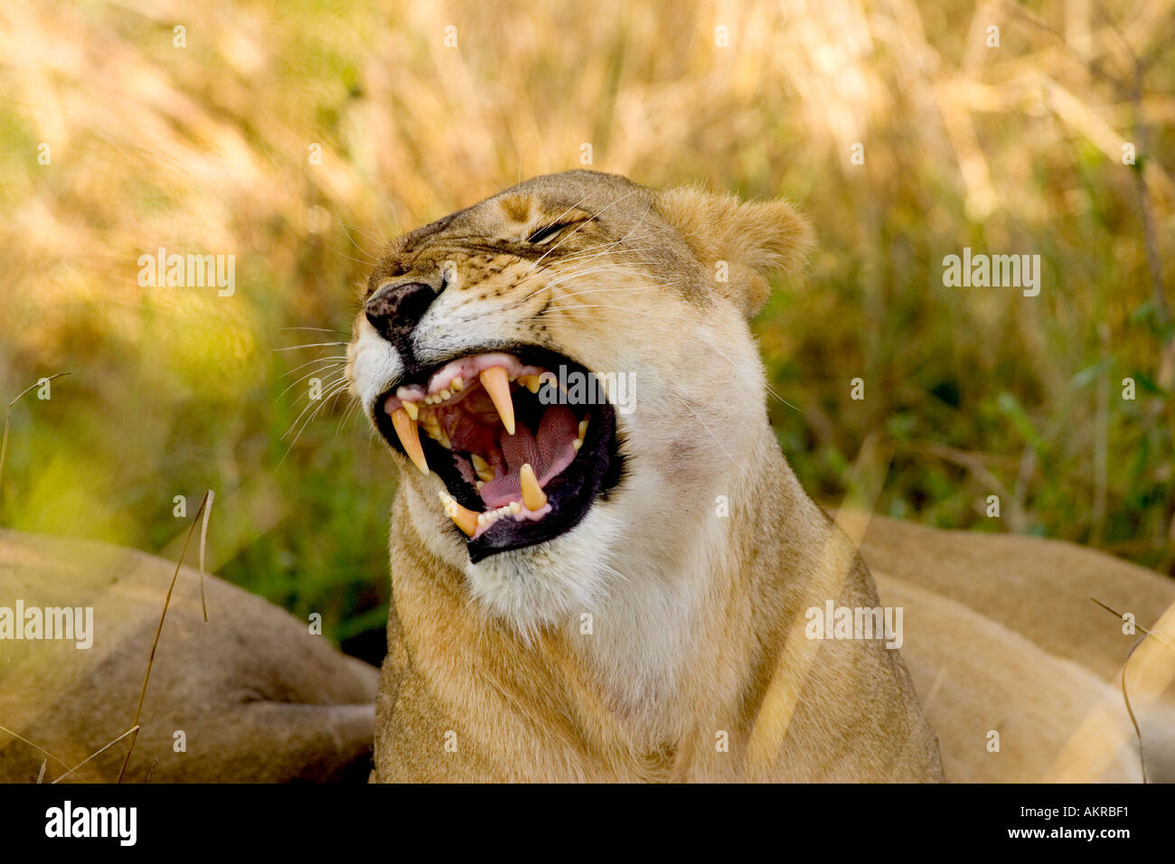 lioness yawning Stock Photo