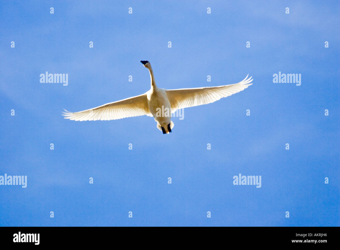 Trumpeter Swan (Cygnus buccinator) flying, Johnson DeBay Swan Reserve, Mount Vernon, Skagit Valley, Washington, USA - Stock Image
