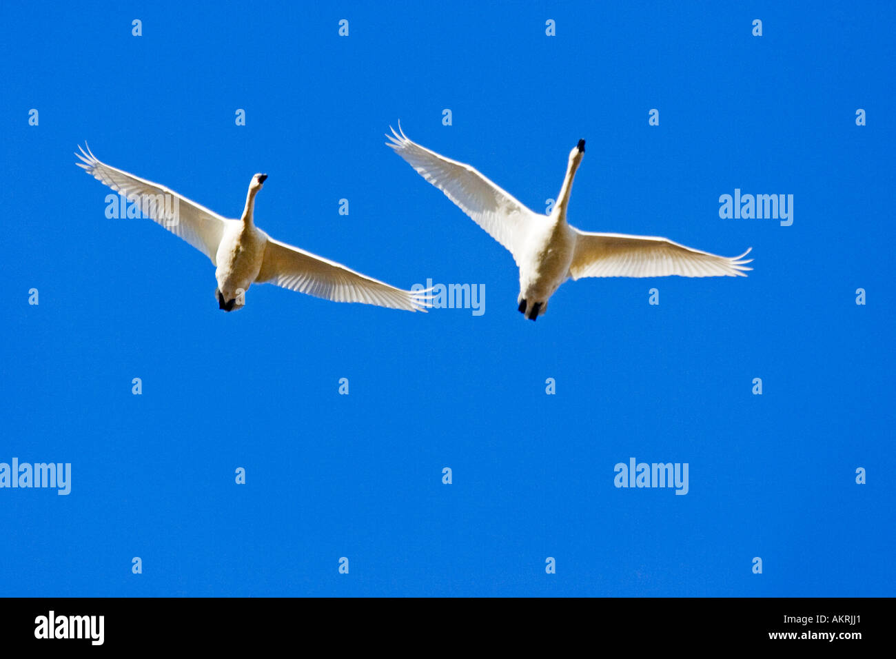Trumpeter Swans (Cygnus buccinator) flying, Johnson DeBay Swan Reserve, Mount Vernon, Skagit Valley, Washington, USA - Stock Image