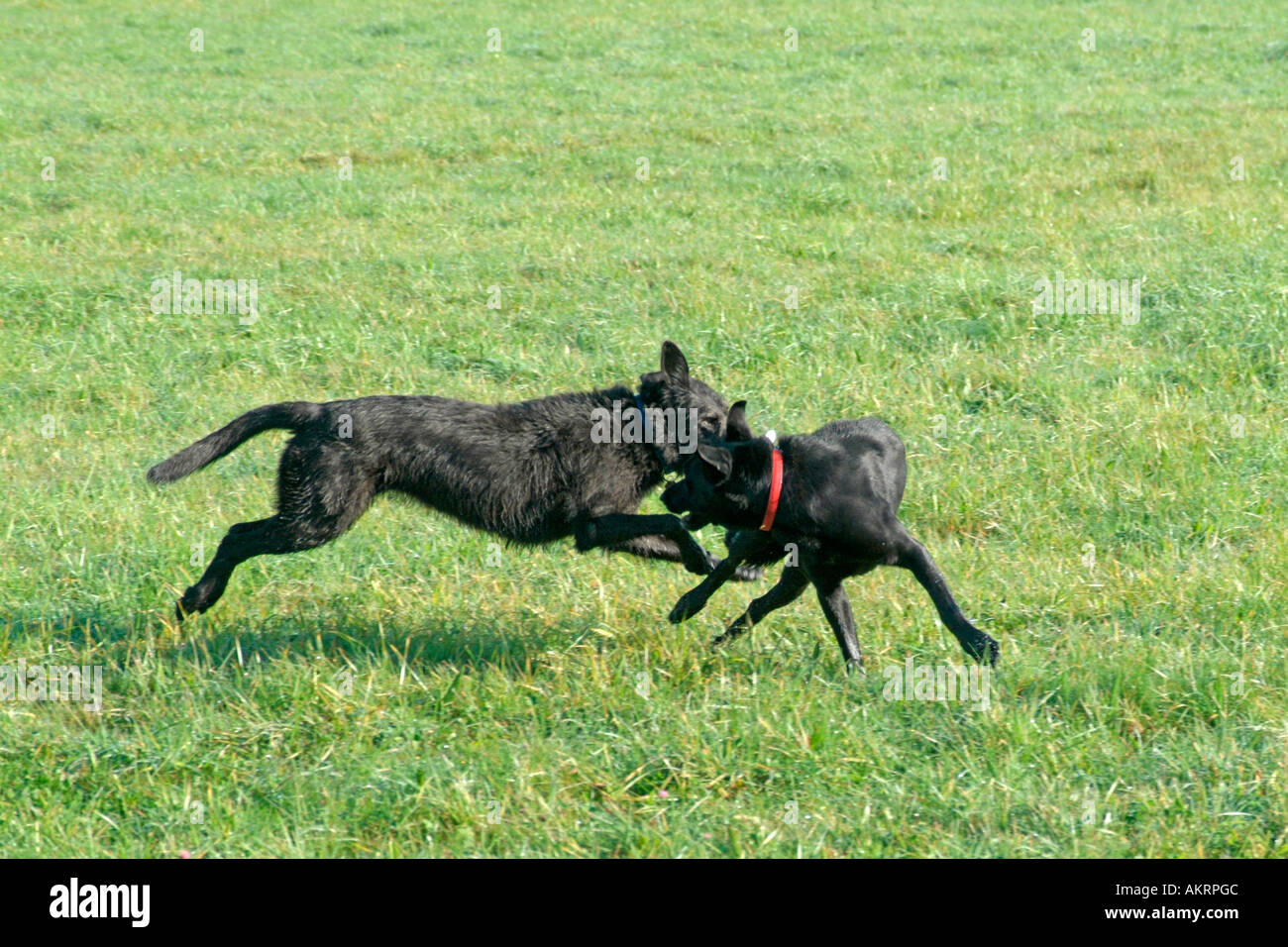two hybrid dogs playing together on a meadow black Labrador Border Collie mix and black Schnautzer mix - Stock Image